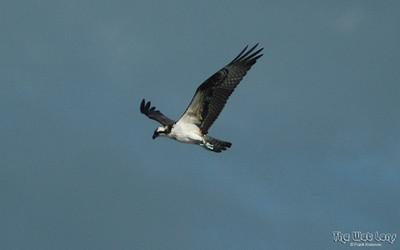 NC Shore Birds