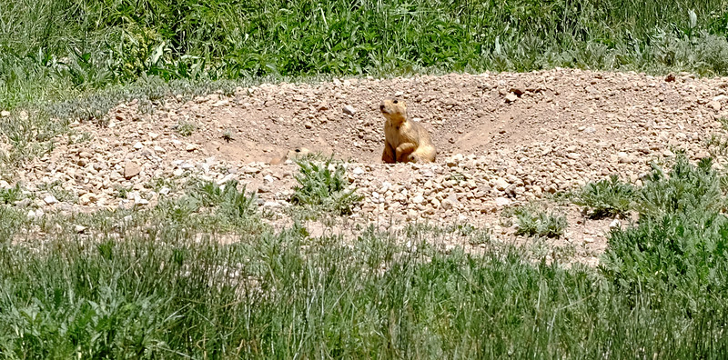 Prairie Dog at Valles Caldera