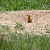 Prairie Dog at Valles Caldera