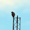 Peregrine Falcon, Jones Beach