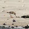 Ruddy Turnstone, Jones Beach