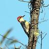 Red-bellied Woodpecker, Jones Beach