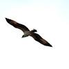 Osprey, Jones Beach