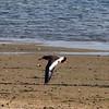 Oystercatcher in flight, Jones Beach