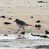 Black-bellied Plover, Jones Beach