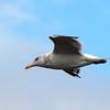Herring Gull, Jones Beach