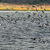 Flock of Oystercatchers, Jones Beach