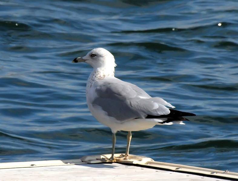 Ring-billed Gull, Jones Beach