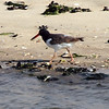 American Oystercatcher, Jones Beach