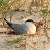 Common Tern and chick on nest, Ninckerson Beach