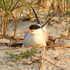 Common Tern and Chick on nest, Nickerson Beach