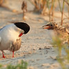 Common Tern and Chick, Nickerson Beach