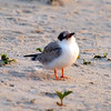 Common Tern Chick, Nickerson Beach