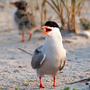 Common Tern, Nickerson Beach