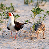 Black Skimmer and chick, Nickerson Beach