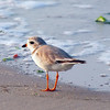 Piping Plover, Nickerson Beach