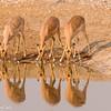 Namibie 2008 :  Etosha NP