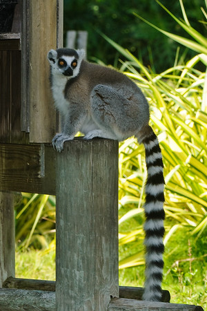 RIng Tail Lemur (I think)