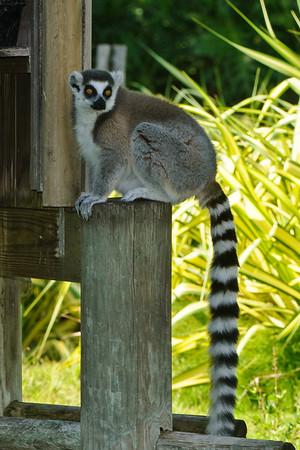 RIng Tail Lemur (I think)