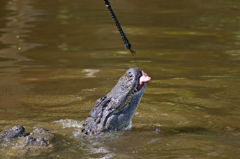 Feeding time, meat hung on a rope hook that they jump for.