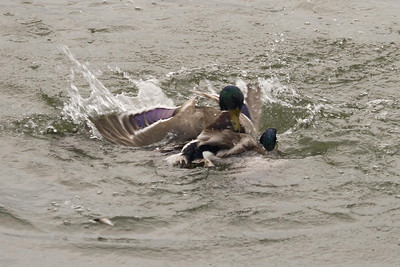 Mallards fighting over a female at Radnor Lake