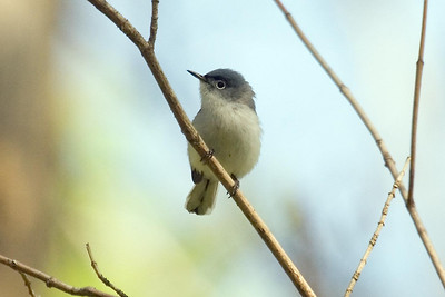 Male Blue-gray Gnatcatcher at Radnor Lake