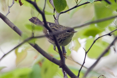 Female Blackpoll Warbler at Radnor Lake