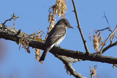 Eastern Wood-Pewee at Radnor Lake