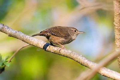 House Wren in Nashville