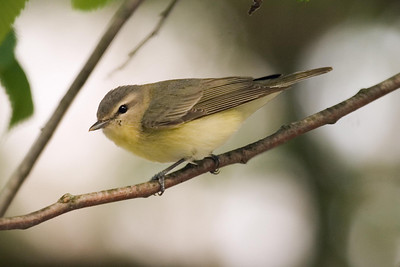 Philadelphia Vireo at Radnor Lake