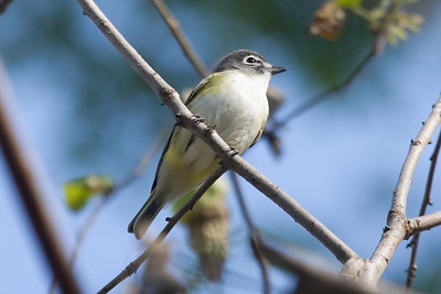 Blue-headed Vireo at Radnor Lake