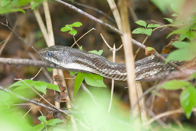 Rat Snake at Radnor Lake