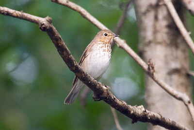 Swainson's Thrush at Radnor Lake