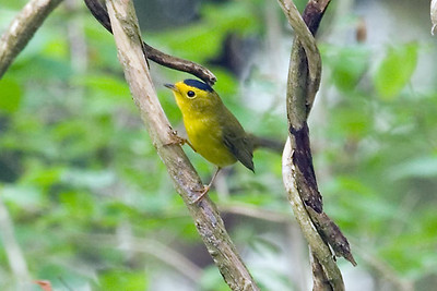 Wilson's Warbler at Radnor Lake