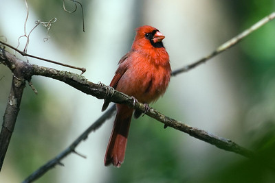 Northern Cardinal at Radnor Lake