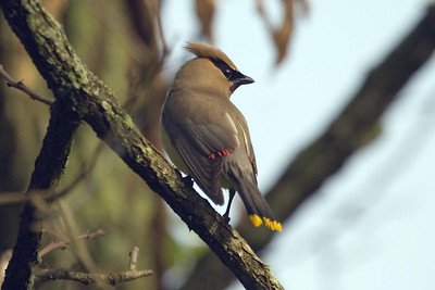 Cedar Waxwing (2) at Radnor Lake (5-12-07)
