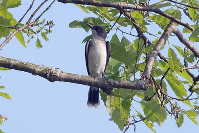 Eastern Kingbird at Old Hickory Lake (5-12-07)