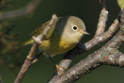Nashville Warbler with fall colors fall migration September 19, 2014 Backyard in Trempealeau County