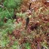 Velvety Black Earth Tongue fungus (Trichoglossum hirsutum) in Hairy-cap Moss (Polytrichum spp)