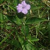 Common Wild-petunia (Ruellia caroliniensis)