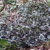 Dog Lichen (Peltigera canina)