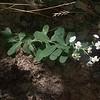 Flowering Spurge (Euphorbia corollata)