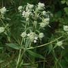 Whorled Mountain-mint (Pycnanthemum verticillatum)