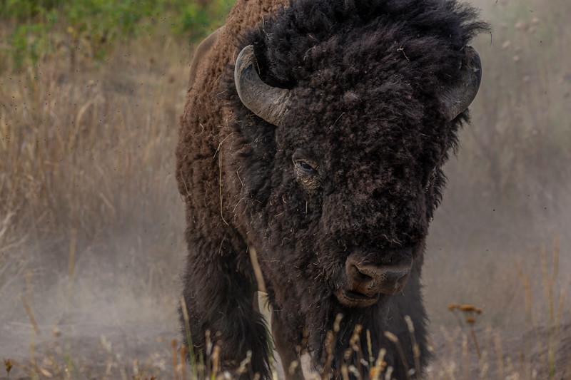 National Bison Range 8-24-2020_V9A8698