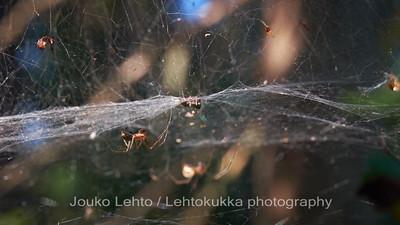 Hämähäkit, Evon retkeilyalue, Niemisjärvet - Spiders, Evo hiking area, Niemisjärvet