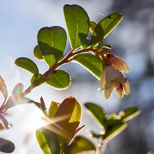 Lingenberry flowers