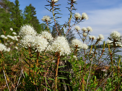 Marsh Labrador tea