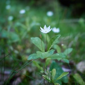 Arctic starflower