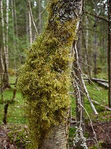Moss over birches trunk