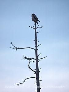 Hiiripöllö (Surnia ulula) - Northern Hawk-Owl